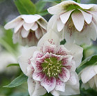 Helleborus × hybridus Harvington double white speckled