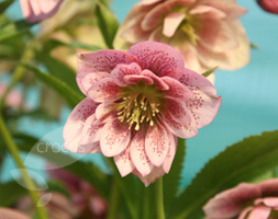 Click to view product details and reviews for Helleborus X Hybridus Harvington Double Pink Speckled Lenten Rose Hellebore.