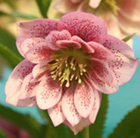 Helleborus × hybridus Harvington double pink speckled