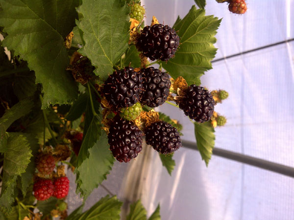 primocane blackberry
