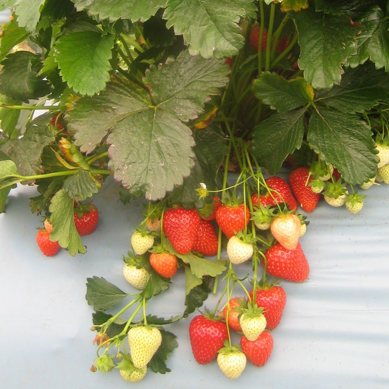 strawberry Cupid - late season fruiting