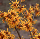 Hamamelis × intermedia Orange Peel