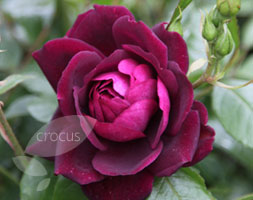 Rosa Burgundy Ice ('Prose') (Pbr) (Rose Burgundy Ice (Floribunda))