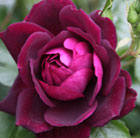 rose Burgundy Ice (floribunda)