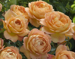 Rosa Lady Of Shalott ('Ausnyson') (Pbr) (Rose Lady Of Shalott (Shrub))