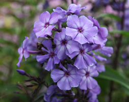 Phlox Paniculata 'Blue Evening' (Phlox)