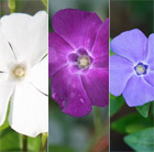 Vinca collection