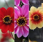Bronze leaf dahlia collection