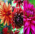 Vibrant dahlia collection