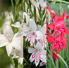 Gladioli collection minitures