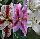 Highly scented lily collection