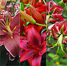 Red lily collection