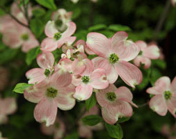 Click to view product details and reviews for Cornus Florida Apossunsetapos Flowering Dogwood.