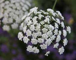 Image of Ammi majus (40 plus 20 FREE large plug plants)