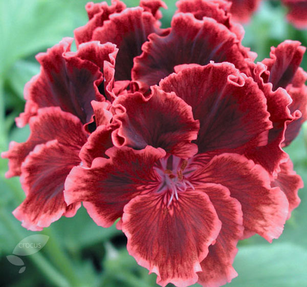 regal pelargoniums