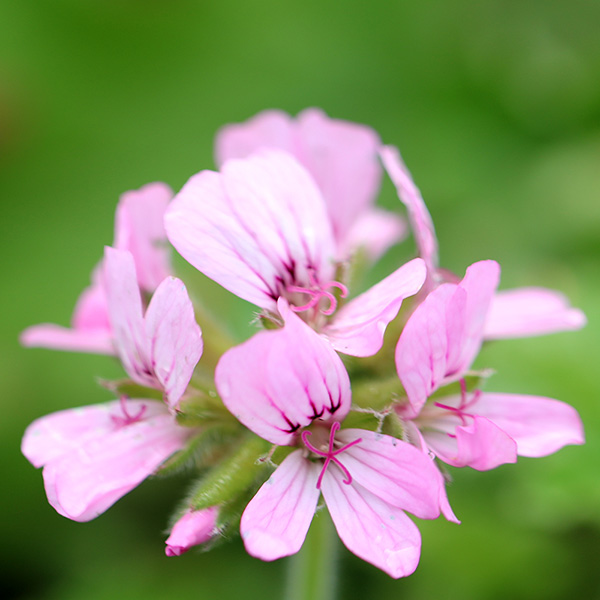 scented-leaved pelargoniums