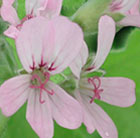 Pelargonium Attar of Roses