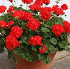 Geranium Bright Red