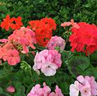 Geranium Hot 'n' Spicy Mixed