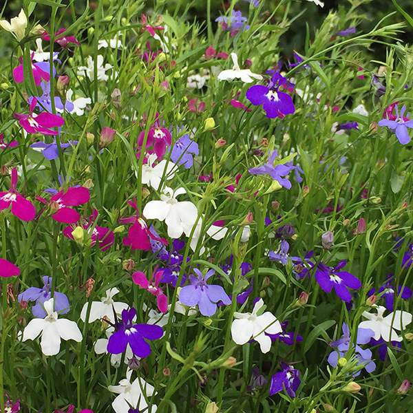 Lobelia 'Trailing Mixed'