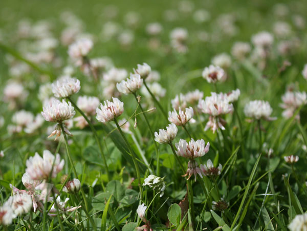 white clover - green manure