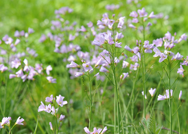 lady's smock / cuckoo flower