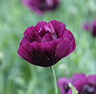 Papaver somniferum Lauren's Grape