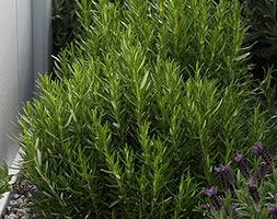 Click to view product details and reviews for Rosemary Rosemary Seeds Rosmarinus Officinalis.