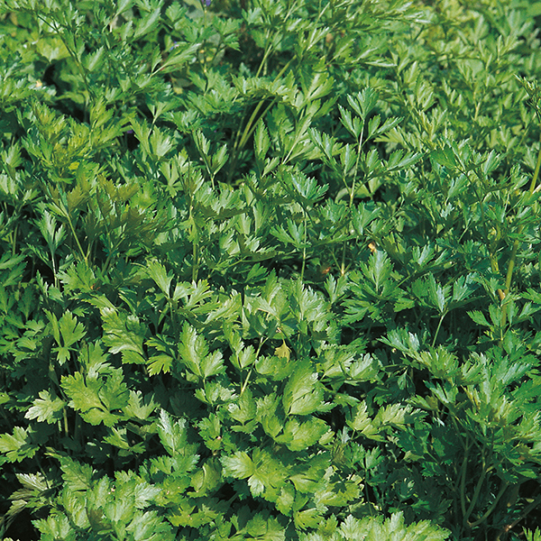flat leaved parsley - organic seeds