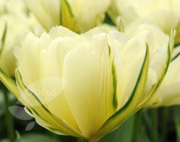 Click to view product details and reviews for Tulipa Aposexotic Emperorapos Fosteriana Tulip Bulbs.
