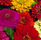 Zinnia Dahlia Flowered Mixed