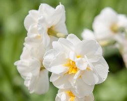 Narcissus 'Bridal Crown' (Daffodil Bulbs)