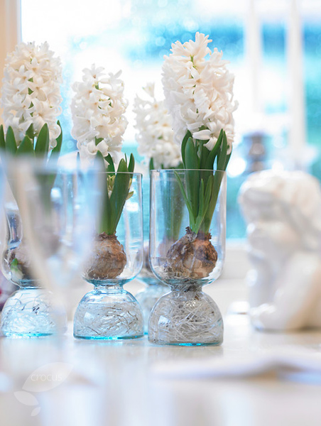 how to grow hyacinth bulbs