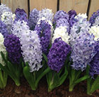 Hyacinthus cool shades collection
