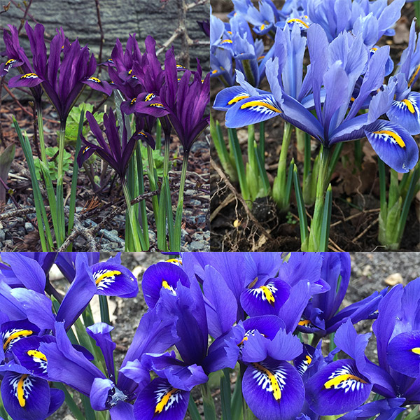 buy iris collection iris reticulata 39 bulb collection. Black Bedroom Furniture Sets. Home Design Ideas
