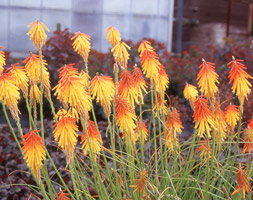 Kniphofia 'Bressingham Comet' (Red Hot Poker)