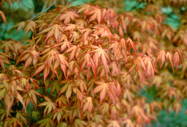 buy japanese maple acer palmatum 39 katsura 39 delivery by crocus. Black Bedroom Furniture Sets. Home Design Ideas