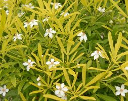 Choisya Aztec Gold ('Hilgold') (Pbr) (Mexican Orange Blossom)