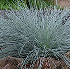 Festuca glauca Intense Blue ('Casblue') (PBR)
