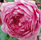 rose Alan Titchmarsh (shrub)
