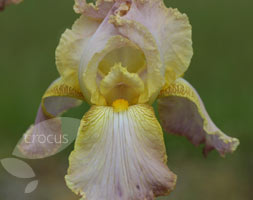Iris 'Chantilly' (Bearded Iris)