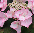 Hydrangea macrophylla Sheila (Dutch Ladies Series)