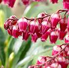 Pieris japonica Passion (PBR)