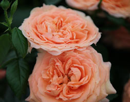 Rosa Lady Marmalade ('Hartiger') (Rose Of The Year 2014)