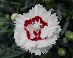 Dianthus  Coconut Sundae ('Wp05 Yves') (Scent First Series) (Pbr) (Pink)