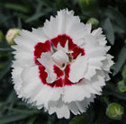 Dianthus Coconut Sundae ('Wp05 Yves') (Scent First Series) (PBR)