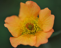 Click to view product details and reviews for Geum Apostotally Tangerineapos Pbr Avens.
