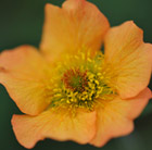 Geum Totally Tangerine (PBR)