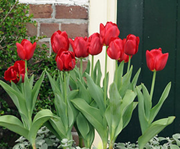 greigii tulip bulbs