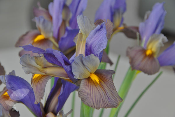 Dutch iris bulbs ( syn Eye of the Tiger )